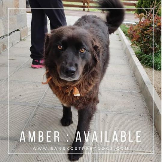 Amber Bansko Street Dog