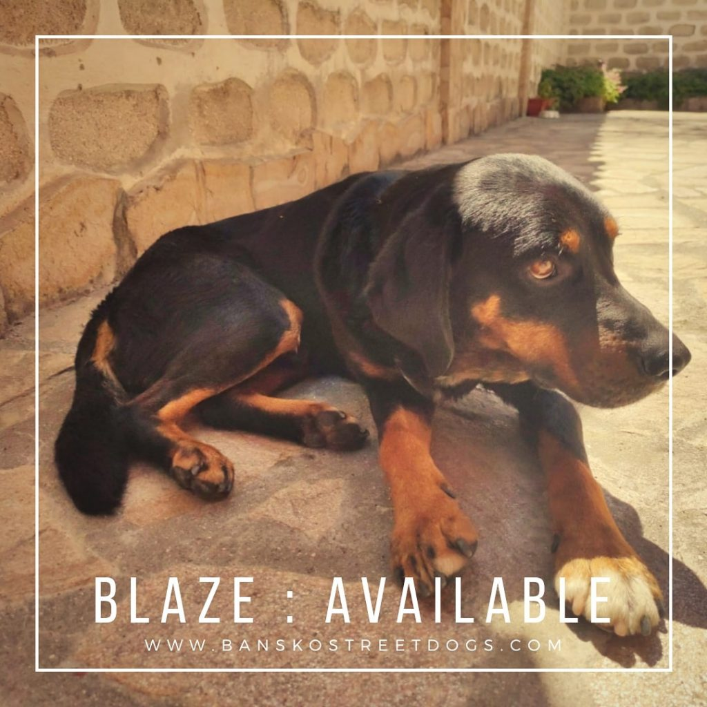 Blaze Bansko Street Dog