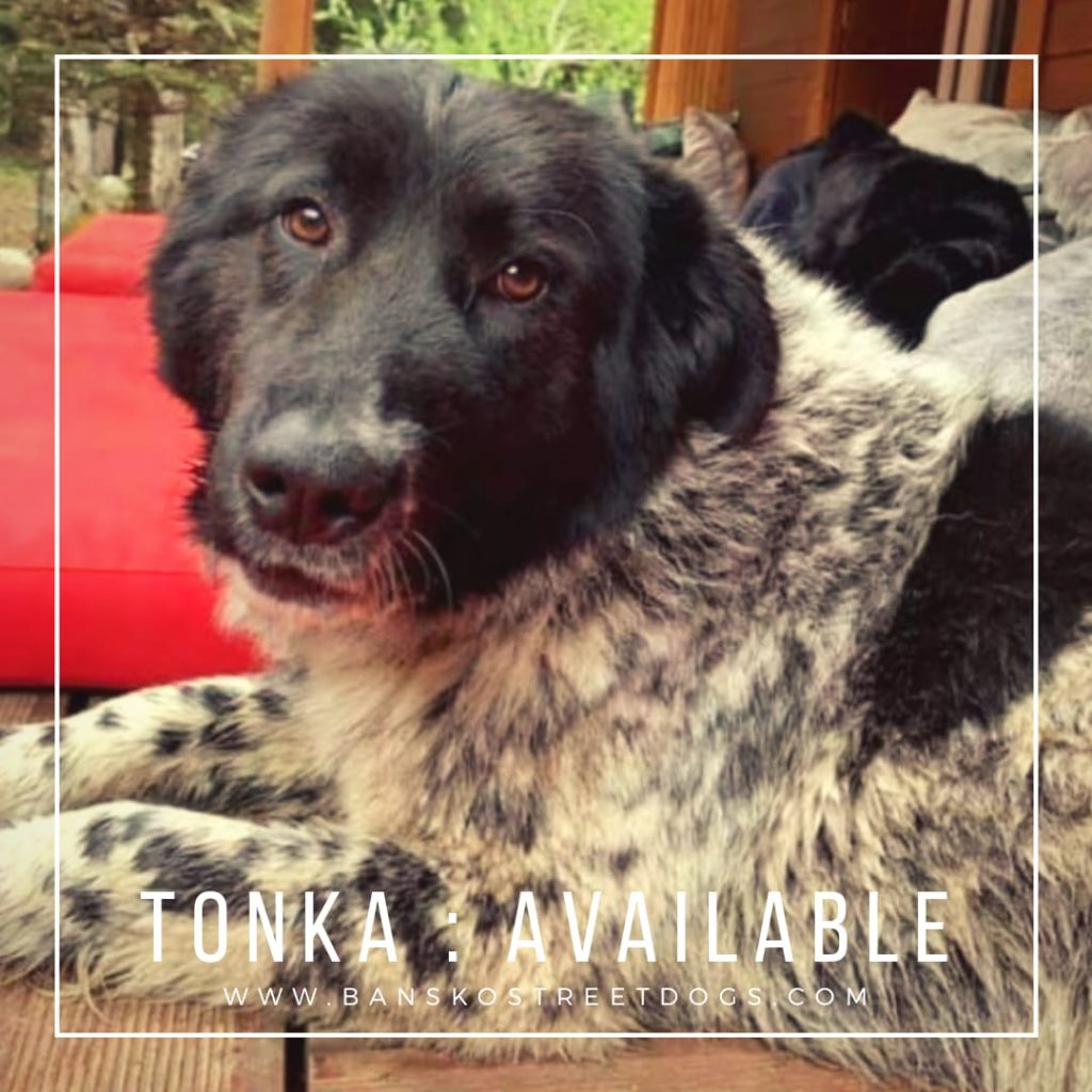 Tonka Bansko Street Dog
