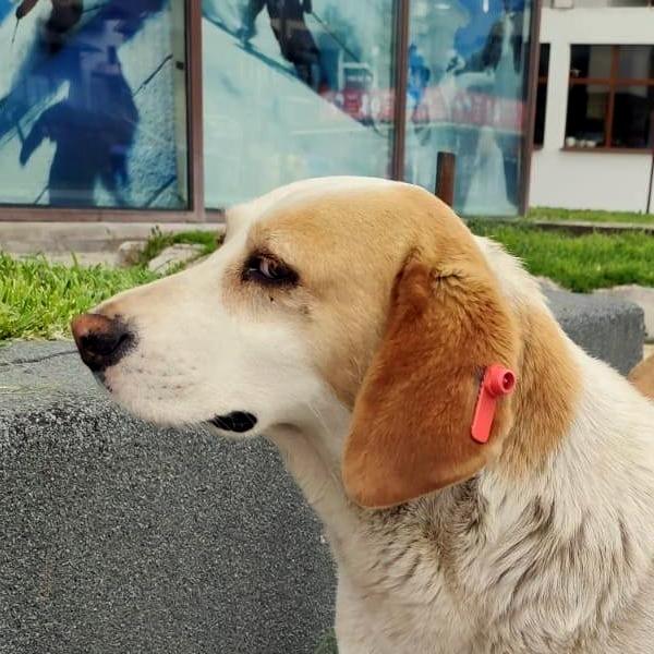 Bansko street dog ear label tag neutered