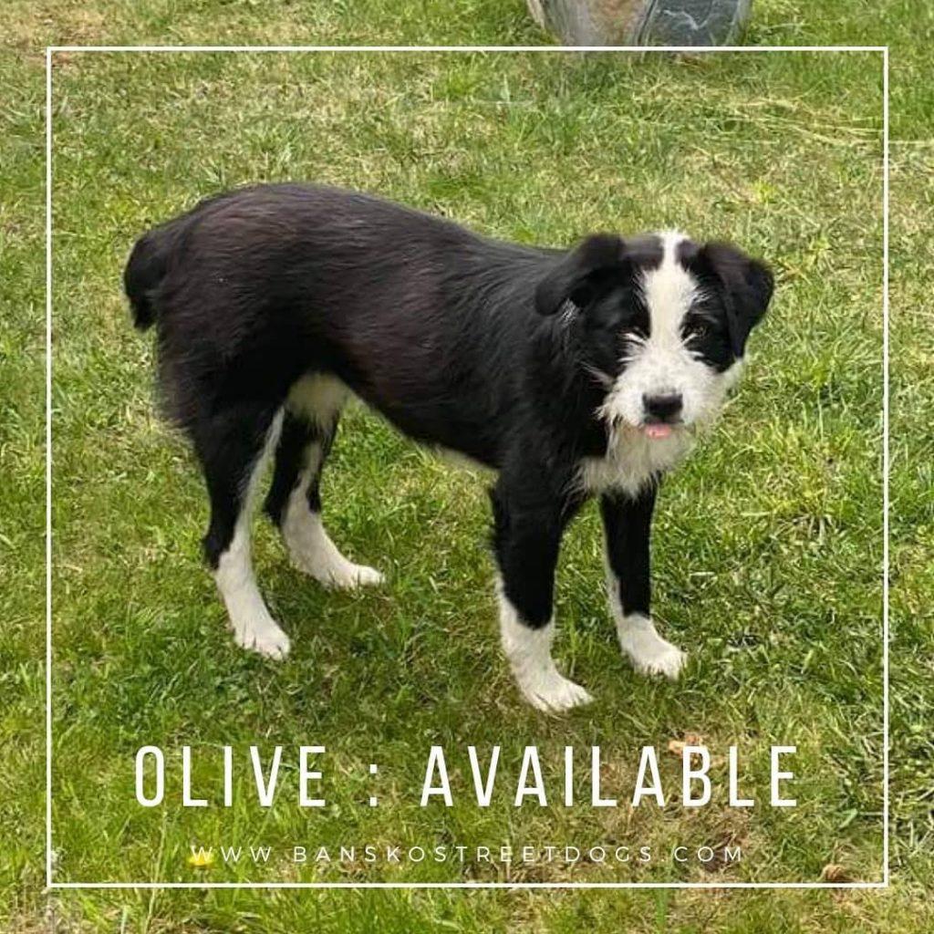 Olive Bansko Street dogs