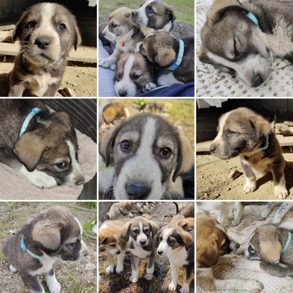 Busy - Bansko Street Dogs