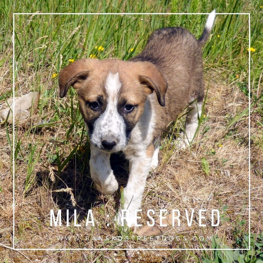 Mila Bansko Street Dogs Reserved