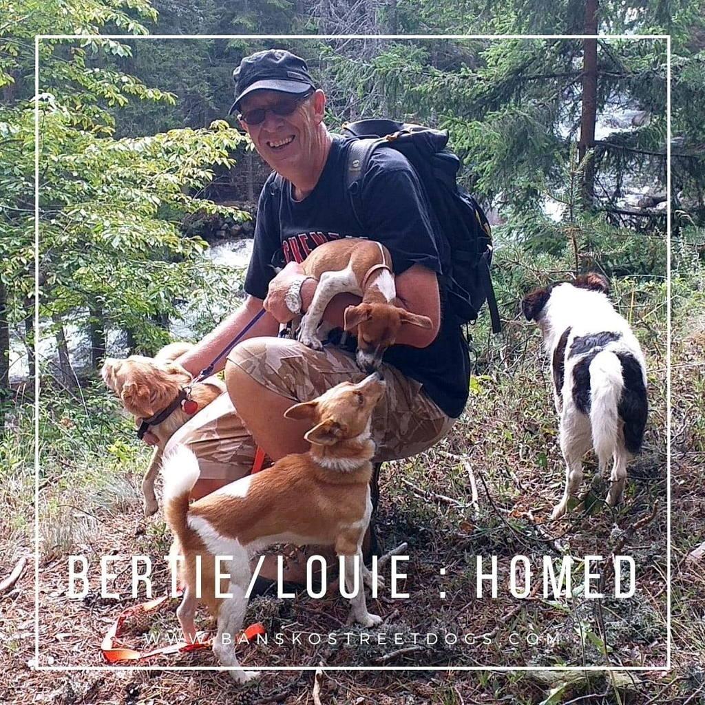 Bertie / Louie - Bansko Street Dogs