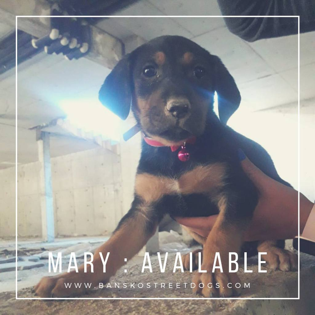 Mary - Bansko Street Dogs