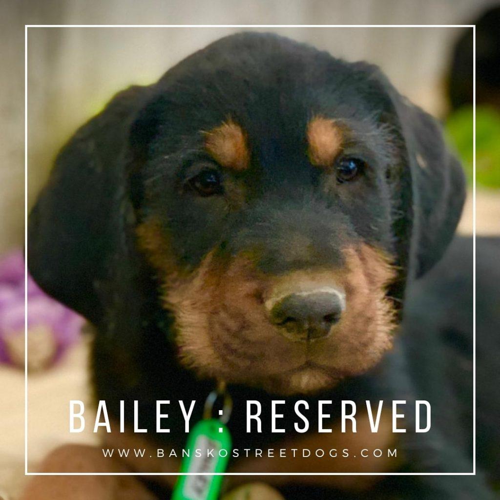 Bailey - Bansko Street Dogs