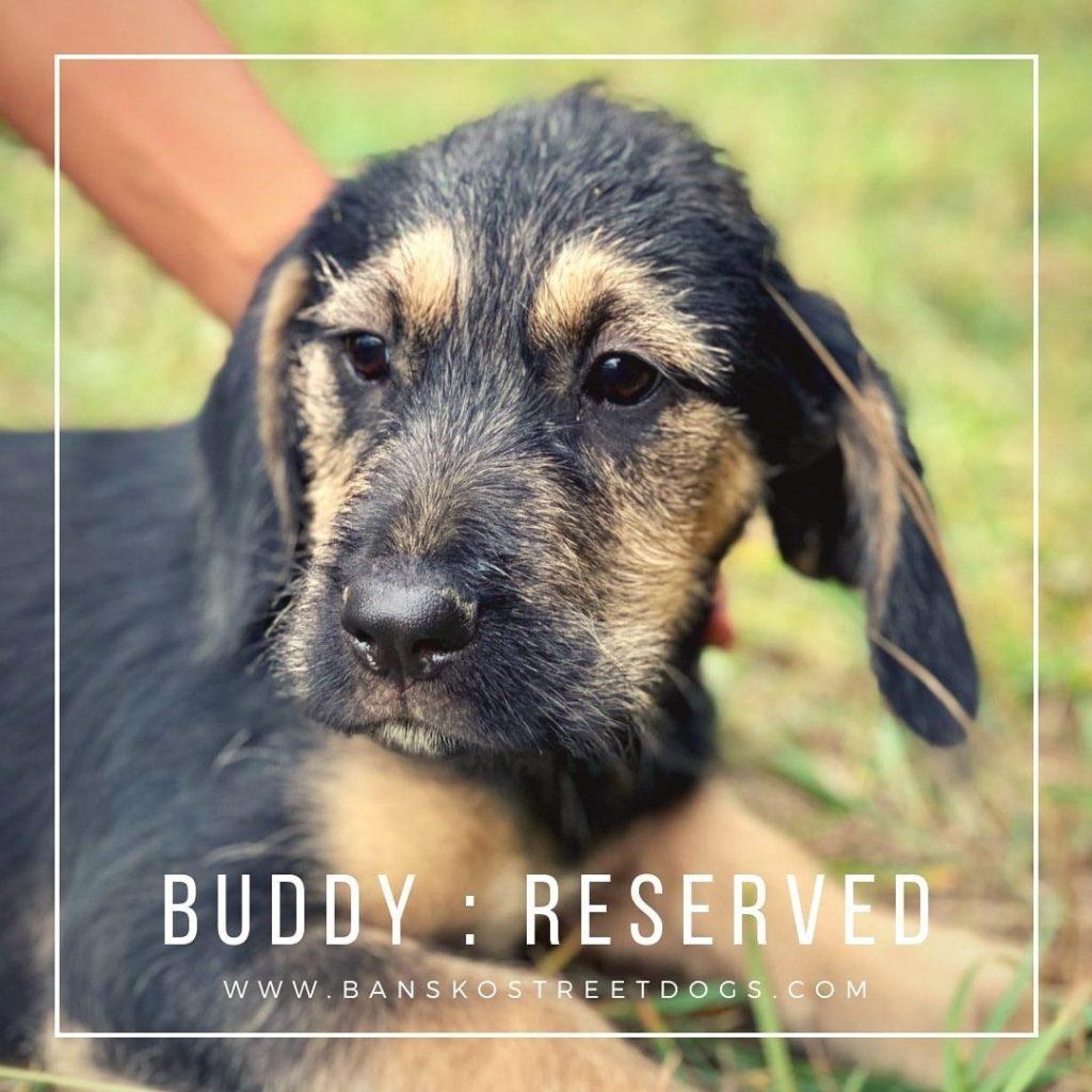 Buddy - Bansko Street Dogs