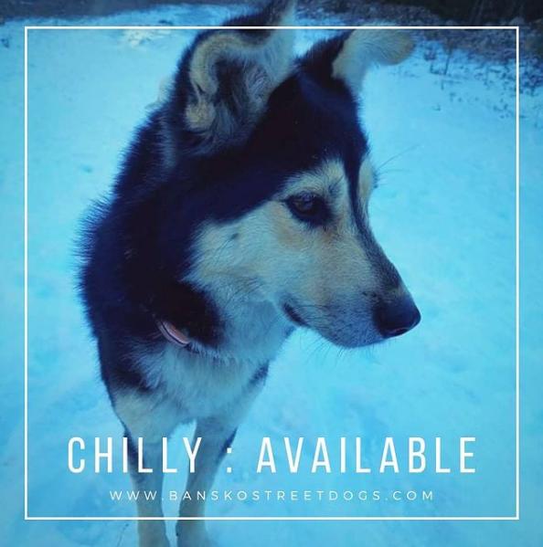 Chilly - Bansko Street Dogs