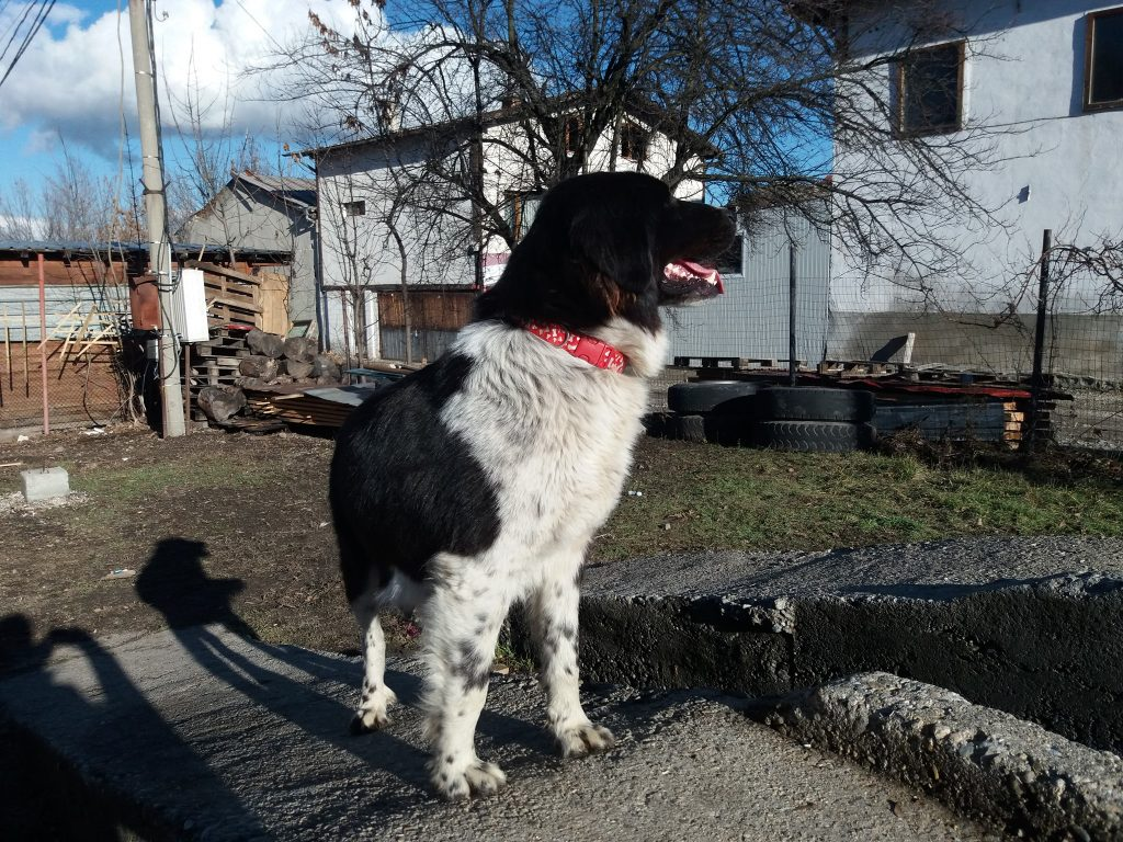 Patches Bansko Street Dogs