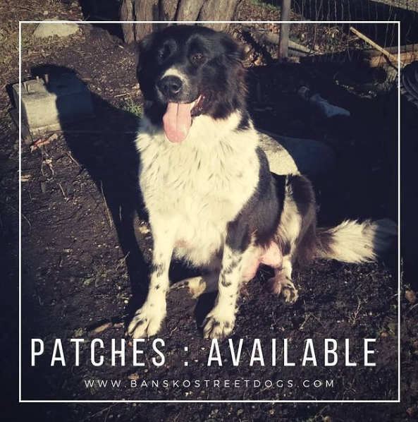Patches Bansko Street Dogs available