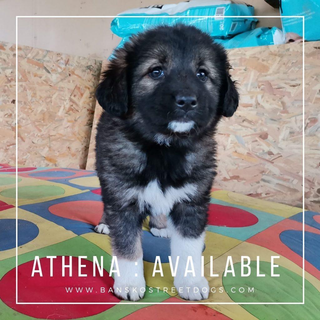 Athena The Fake Patchlings Bansko Street Dogs Bulgaria