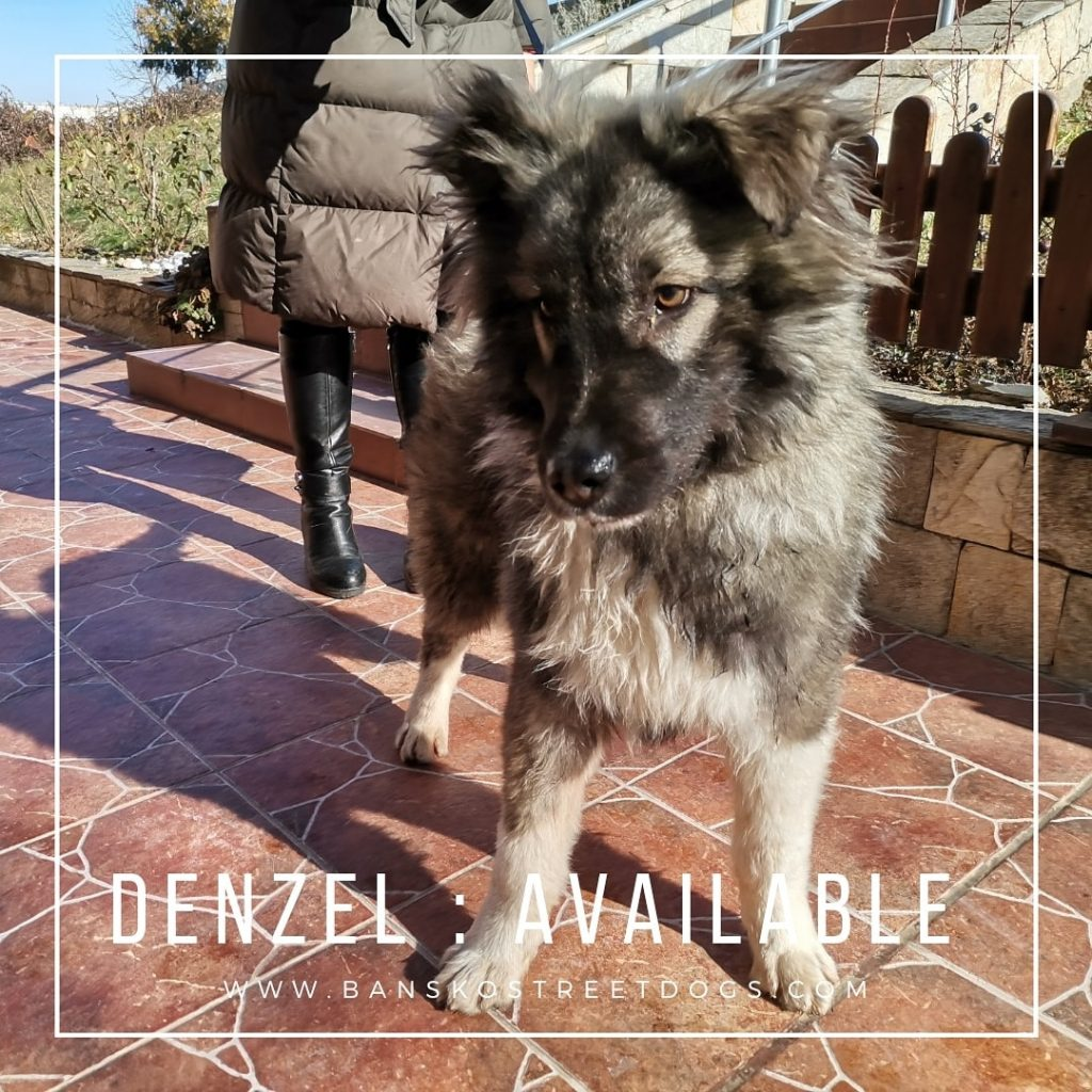 Denzel Bansko Street Dogs Bulgaria